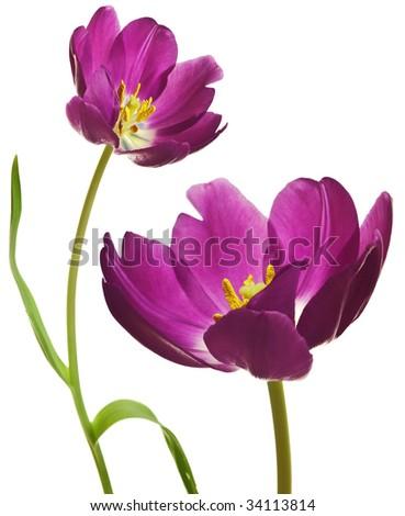 spring tulips flower isolated on white background - stock photo