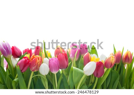 Spring tulips flowers on the white background - stock photo
