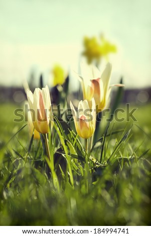 Spring tulips in a sunlight. Added instagram effect - stock photo