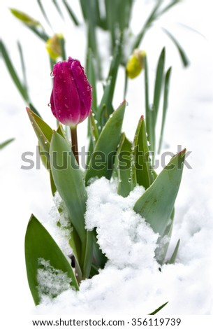 Spring tulips with snow in the garden  - stock photo