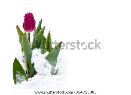 Spring tulips with snow in the garden on a white background with space for text