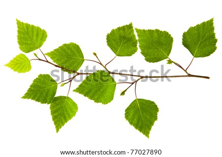 spring twig birch with green leaves on a white background