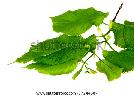 spring twig linden with green leaves on a white background - stock photo