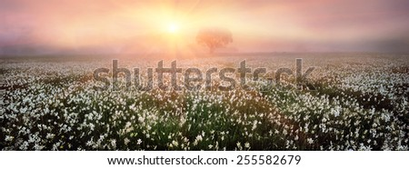 Spring valley near the city of Hust carpet of flowers. Mists at dawn harbor background flower meadow fragrant veil, creating a mood of magic  the mystery. Unique show attracts tourists and travelers  - stock photo