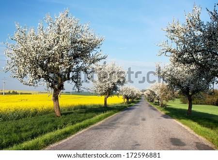 spring view of road with alley of apple ree and rapeseed field  - stock photo