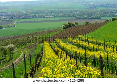 Spring vineyard. Germany
