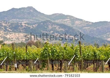 Spring Vineyard in Napa Valley California - stock photo