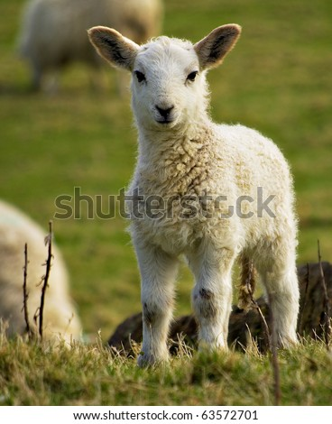 spring welsh lamb - stock photo