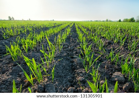 Spring wheat field early in the morning - stock photo