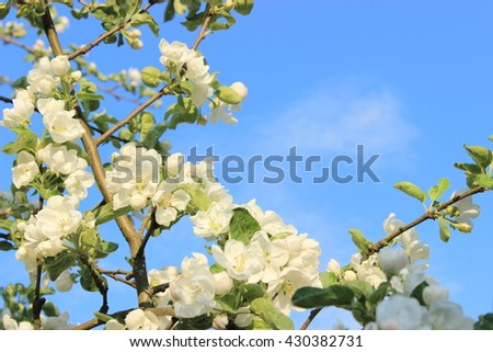 Spring white background with tree full of white flowers and green leafs with bright blue sky with light clouds behind. Spring theme - stock photo