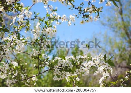 Spring white blossom against blue sky in a garden - stock photo