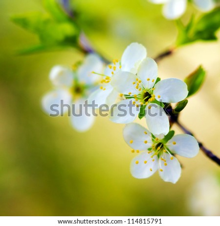 spring white blossom cherry tree flowers (selective focus) - stock photo