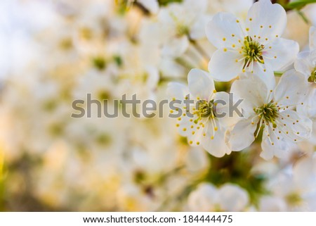 spring white blossom cherry tree flowers (selective focus)