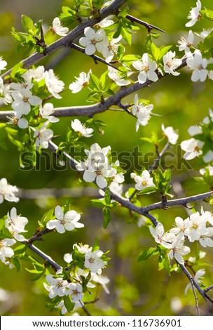 Spring white blossoms. Shallow DOF - stock photo
