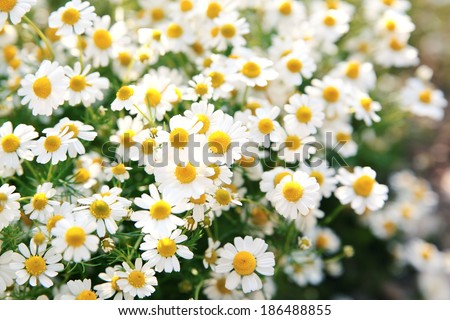 Spring white daisy flowers in nature in the sunlight.Spring flowers  background - stock photo