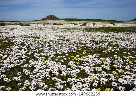Spring Wild Flowers, West Coast, South Africa. - stock photo
