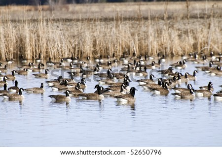 Spring. Wild geese are resting on the lake after a long flight from the African continent. - stock photo