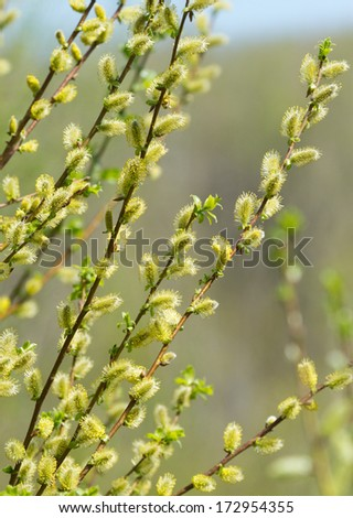 Spring willow catkins - stock photo
