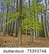 spring wood with beech trees - stock photo