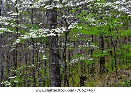 Spring woodland, Dogwood in bloom, Webster County, West Virginia, USA - stock photo