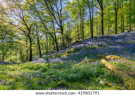 Spring woodland with Bluebell carpet and beautiful evening sunlight shining through the trees at Fishgarth Wood, Ambleside, Lake District, UK. - stock photo