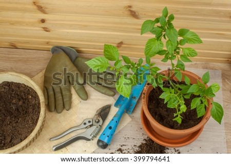 Spring works in the garden. Seedlings chilli peppers. Growing vegetables. Transplanting seedlings into pots. Chilies in a clay pot. Pepper seedlings and fresh chili pepper branch.