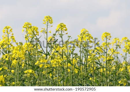 Spring, yellow, colza field - stock photo