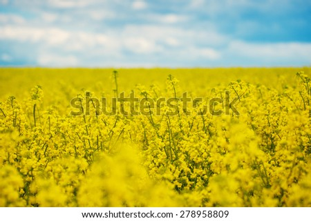 Spring Yellow Field rapeseed in bloom and beautiful Blue Sky - stock photo