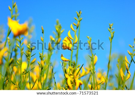 Spring yellow flowers meadow over blue clear sky background - stock photo