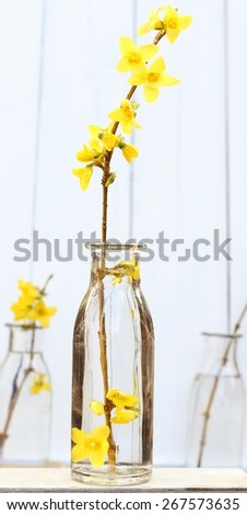 Spring yellow forsythia sprig , simple floral arrangement in glass bottles with a white, pale background of wooden painted panels , elegant  still life, shallow depth of field - stock photo