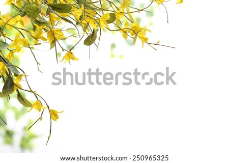 Spring yellow of blooming forsythia  - stock photo