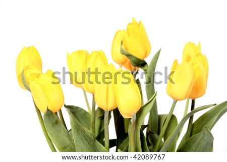 Spring yellow tulips in a vase on a white background