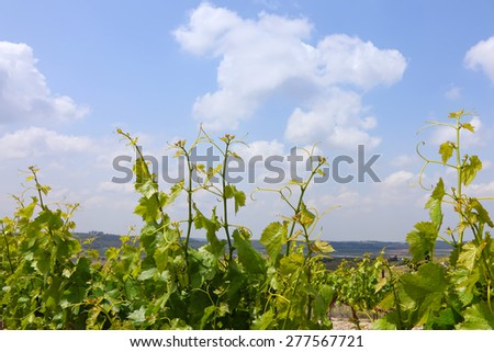 Spring young grapevines against blue sky. Mediterranean - stock photo