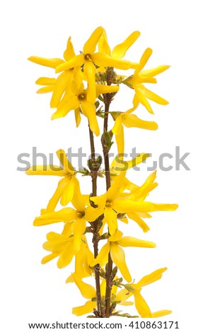Spring young sprouts, twigs with bright yellow flowers. Close-up. - stock photo