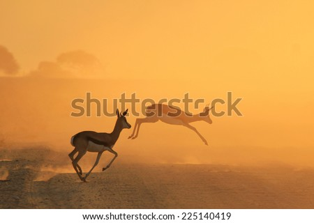 Springbok - African Wildlife Background - Running for Gold