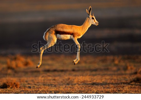Springbok antelope (Antidorcas marsupialis) jumping or pronking, South Africa - stock photo