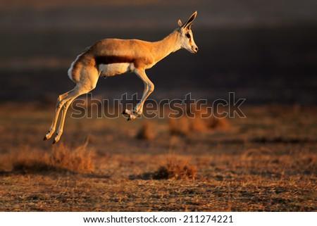 Springbok antelope (Antidorcas marsupialis) jumping, South Africa - stock photo