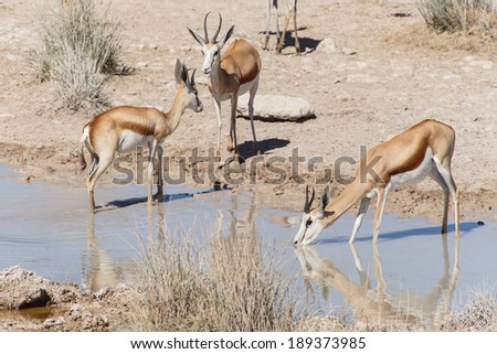 Springbok Antelope at Etosha National Park in Nambia, Africa - stock photo