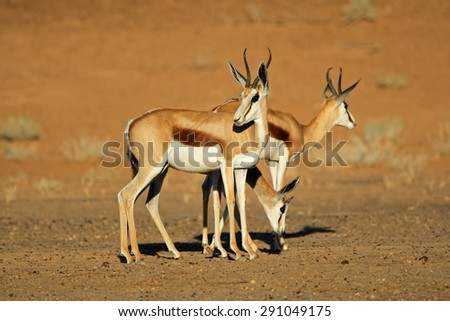 Springbok antelopes (Antidorcas marsupialis), Kalahari desert, South Africa  - stock photo