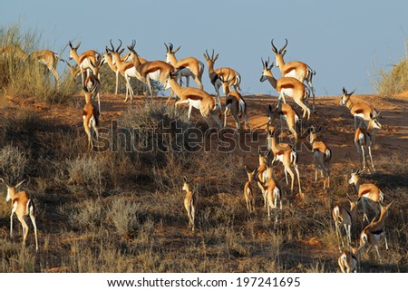 Springbok antelopes (Antidorcas marsupialis) on a sand dune, Kalahari desert, South Africa  - stock photo
