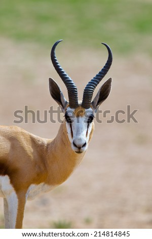 Springbok (Antidorcas marsupialis) head and shoulders, Kalahari Desert, South Africa against blurred natural background - stock photo