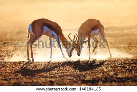 Springbok dual in dust - Kalahari desert - South Africa - stock photo