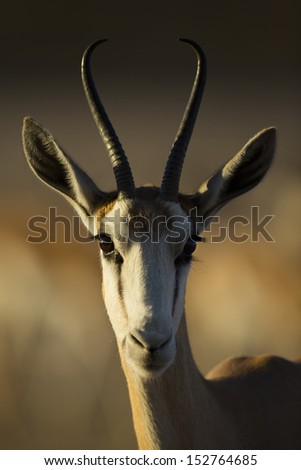 Springbok female in the Kalahari sunrise