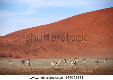springbok in the desert - stock photo
