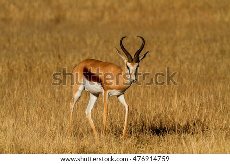 springbok in the kalahari