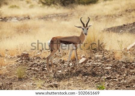Springbok in the national park Namibia - stock photo