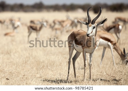Springbok in the national park Namibia
