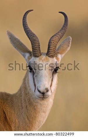 Springbok portrait; antidorcas marsupialis - stock photo