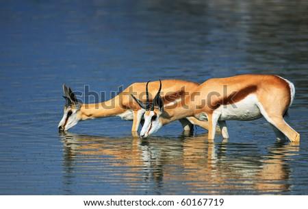 Springbok standing in water while drinking; Antidorcas Marsupialis - stock photo