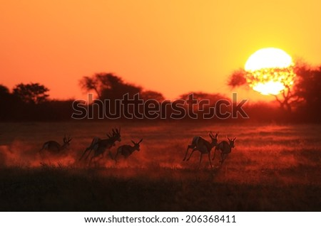 Springbok Sunset - African Wildlife Background - Golden Light and Dust of Run